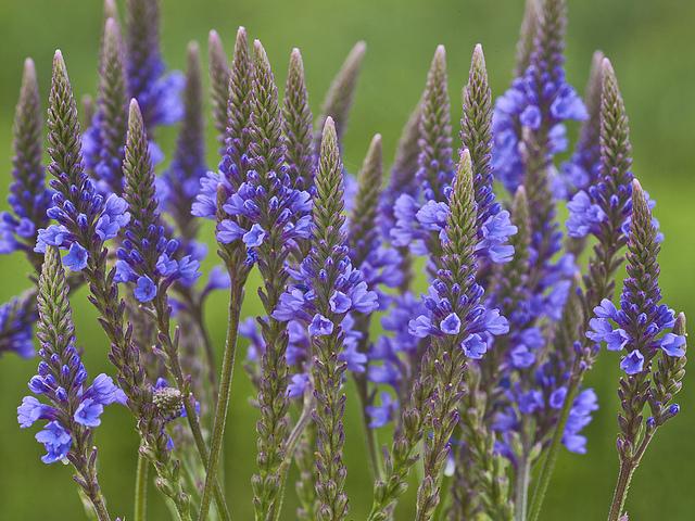 Verbena azul propiedades