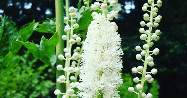 Cohosh negro se utiliza como un remedio natural para sntomashellip