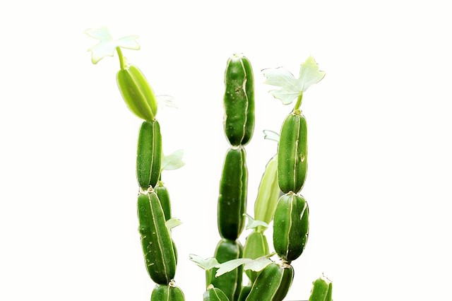 Beneficios cissus quadrangularis