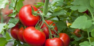 Tomates ricos en licopeno