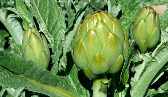 alcahofas-beneficios-para-la-salud