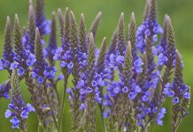 Verbena azul