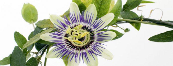 Pasiflora propiedades para la salud