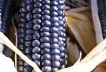 Maiz azul